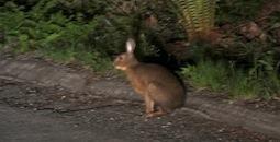 ノウサギ.jpg