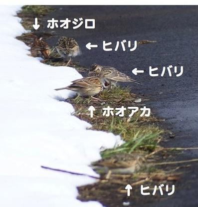 ヒバリ混群.jpg